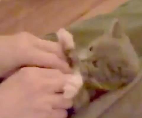 この猫可愛すぎ!コチョ、コチョ、コチョ、コチョ、バンザーイ!