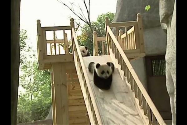 【胸キュン注意】無邪気に滑り台を降りてくるパンダたちが可愛すぎ!