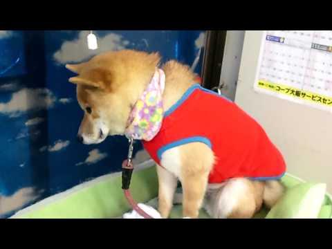 落ち込みっぷりがわかりやすいw終始テンションが低すぎる柴犬に萌え~!