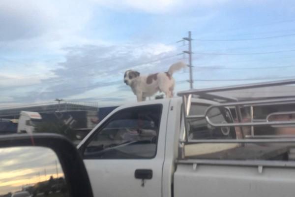走行中のトラックの上で、全く動かずに風を感じる勇敢なワンコ!