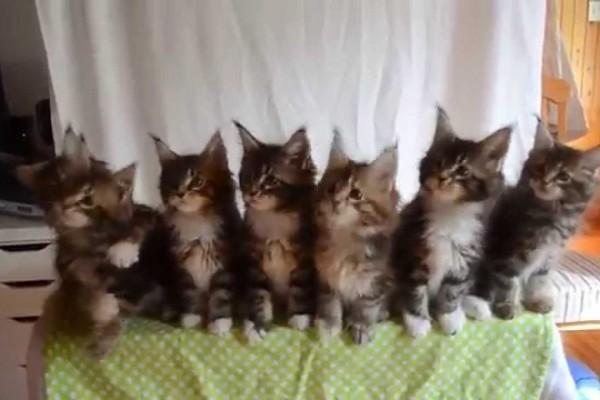たった30秒で胸がキュンキュン!7匹の子猫が横並びで見せるシンクロ