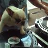 ご主人のスクラッチ音を隣で完コピ!?天才DJ犬が反則級の可愛さ!