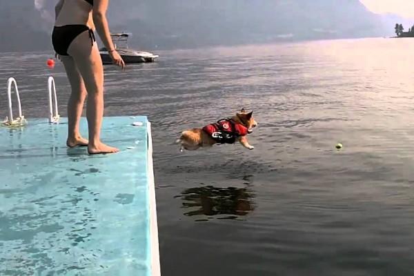 怖がりだけど海にジャンプ!コーギーが頑張る姿に癒されること間違いなし