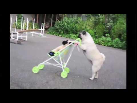 可愛いパグの一人舞台!ベビーカーにパグを乗せてお散歩するのも…パグ!?