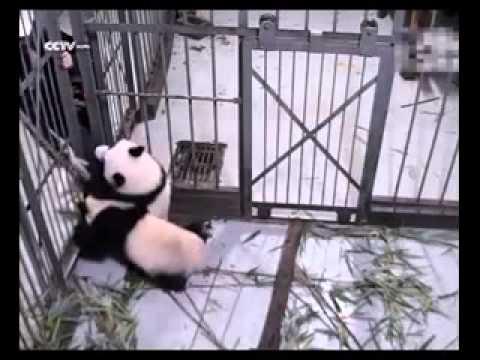 【行っちゃヤダヤダ】飼育員の足を離さずに引き止めようとするパンダが激カワ