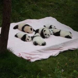 【たまらんですよ】パンダさん、この可愛さは反則じゃないですかね(9選)