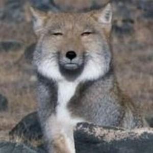 落ち込んだ時は「チベットスナギツネ」を見ると元気でる(7枚)