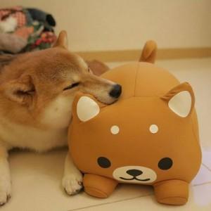 【見てるだけで元気でる】「柴犬を飼っているお宅の日常」(14枚)