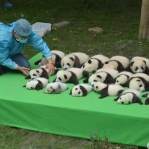 【可愛すぎるでしょッ…!】中国四川省で23頭の赤ちゃんパンダ誕生→そしてこの後…(笑)7枚