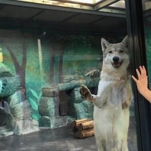 「ほぼ犬(笑)」天王寺動物園のオオカミが愛嬌ありすぎて→そのまま撮影していると…2枚