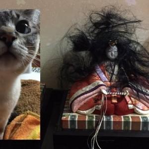 壮絶な犯行だ!(笑)お雛様に対抗心を燃やしたか、我が家のお姫様(猫)がやりました!8枚