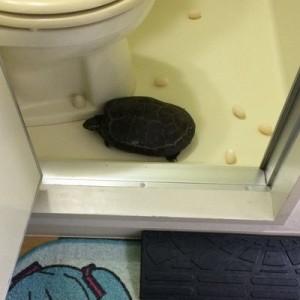 【4年連続!】「帰宅したら…。トイレに行けない!」ペットの亀が今年も産卵していた!