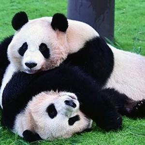上野動物園のパンダ報道で騒いでる人へ→和歌山アドベンチャーワールドのコレを見てくれよ!