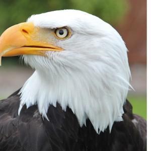アメリカの国鳥『ハクトウワシ』はなぜ横向きばかりなのか?→その理由に納得…笑った(笑)
